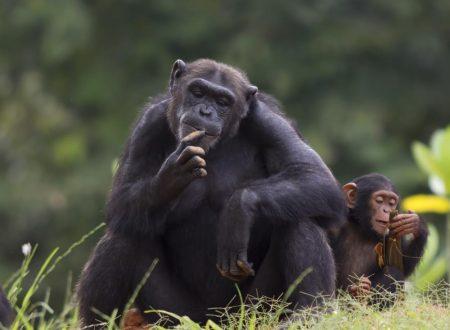 """Il pianeta delle scimmie diventa realtà: scienziati cinesi impiantano geni umani nelle scimmie per renderli """"più intelligenti"""""""